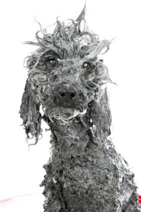 dog-bath-iStock_000005433851XSmall